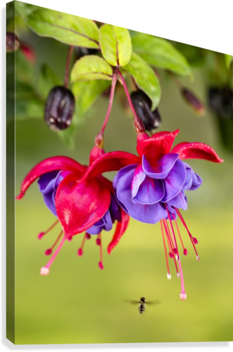 Close up of fuchsia and insect in garden; South-central Alaska; Eagle River, Alaska, United States of America  Canvas Print