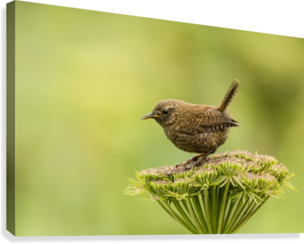Pacific wren (Troglodytes pacificus) perched on wild celery on St. Paul Island in Southwest Alaska; St. Paul Island, Pribilof Islands, Alaska, United States of America  Canvas Print