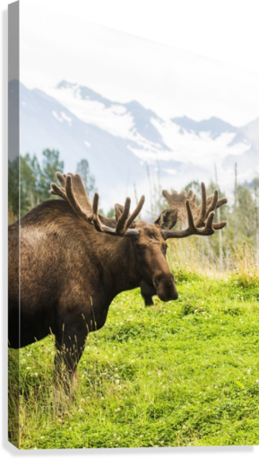 Bull moose (alces alces) with antlers in velvet, captive in Alaska Wildlife Conservation Center, South-central Alaska; Portage, Alaska, United States of America  Canvas Print
