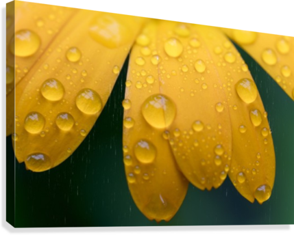 Close up of water droplets on yellow flower petals; South Shields, Tyne and Wear, England  Canvas Print