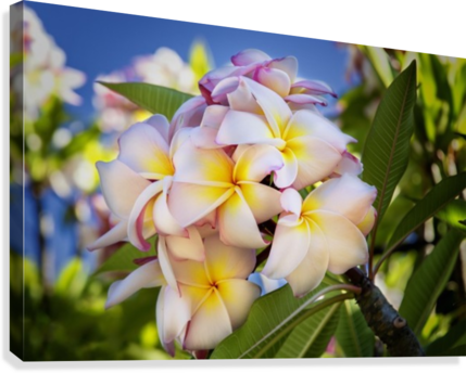 Close up of pink plumeria flowers and blue sky lanai hawaii close up of pink plumeria flowers and blue sky lanai hawaii united mightylinksfo