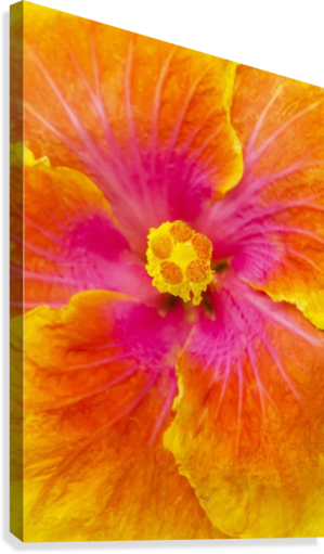 Close-up macro shot of a beautiful orange, pink and yellow Hibiscus flower; Honolulu, Oahu, Hawaii, United States of America  Canvas Print