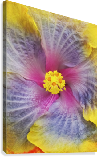 Close-up macro shot of a beautiful lavender, pink and yellow Hibiscus flower; Honolulu, Oahu, Hawaii, United States of America  Canvas Print