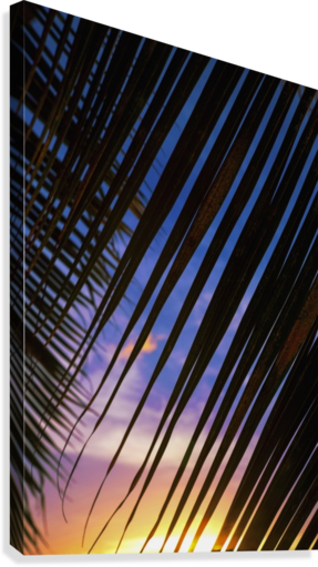 Close-up of silhouetted palm fronds with beautiful sunset color sky in the background; Honolulu, Oahu, Hawaii, United States of America  Canvas Print