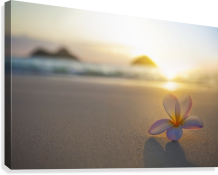 A pink plumeria flower sits on the sand of Lanikai Beach in Kailua with a view of Mokulua twin islands and the ocean at sunset in the distance; Kailua, Oahu, Hawaii, United States of America  Canvas Print