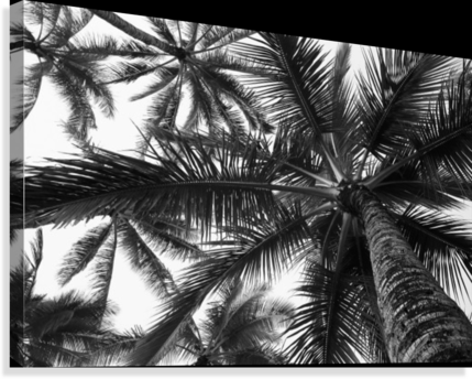 Low angle view of coconut palm trees in black and white; Honolulu, Oahu, Hawaii, United States of America  Canvas Print