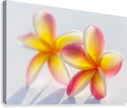 A pair of beautiful yellow and pink plumeria flowers together a pair of beautiful yellow and pink plumeria flowers together apocynaceae on a white mightylinksfo Choice Image
