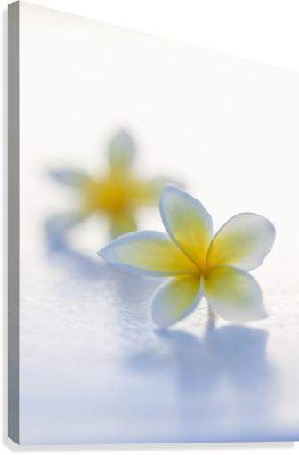 Close-up of two beautiful yellow Plumeria flowers (Apocynaceae) in soft focus; Honolulu, Oahu, Hawaii, United States of America  Canvas Print
