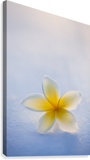 Close-up of a single beautiful yellow Plumeria flower (Apocynaceae) in soft focus; Honolulu, Oahu, Hawaii, United States of America  Canvas Print