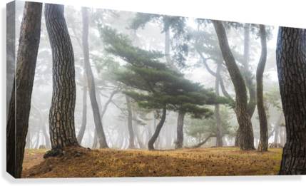 In The Misty Pine Forest  Canvas Print