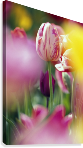 Tulip Flower  Canvas Print