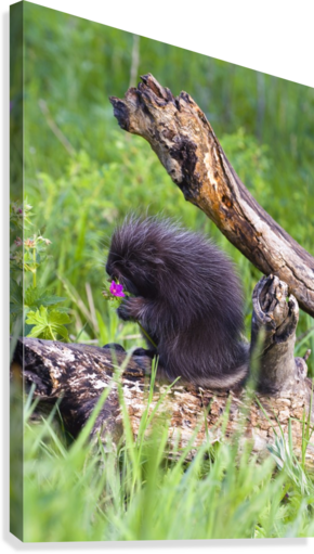 Porcupine Baby Eating Flower  Canvas Print