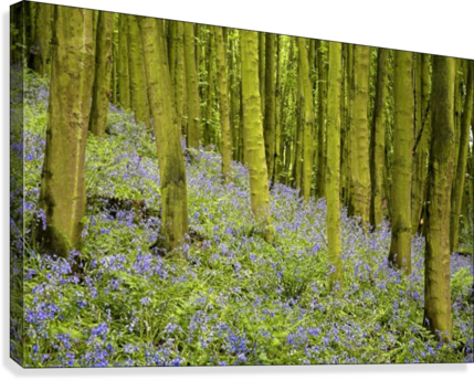 Bluebell Wood Impression  Canvas Print