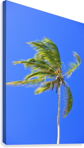 Palm Tree Against Clear Blue Sky  Canvas Print