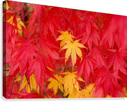 Close-Up Fall Leaves  Canvas Print