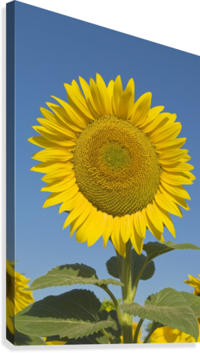 Sunflower (Helianthus Annuus)  Canvas Print