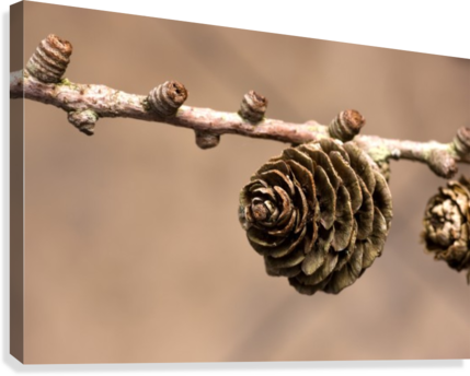A Conifer Cone On A Tree Branch  Canvas Print
