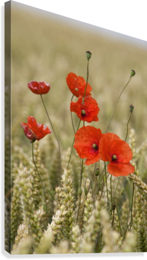 Wildflowers; Poppies In A Grain Field  Canvas Print