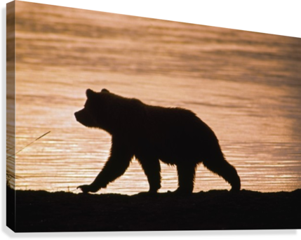 Young Grizzly Bear (Ursus Arctos) Walks Along Edge Of Lake At Sunset  Canvas Print