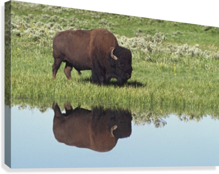 Bison (Bison Bison) On Grassy Meadow With Reflection In Pool  Canvas Print