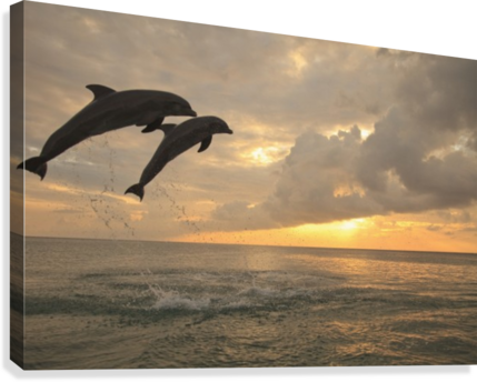 Roatan, Bay Islands, Honduras; Two Bottlenose Dolphins (Tursiops Truncatus) Jumping Out Of The Water At Anthony's Key Resort At Sunset  Canvas Print