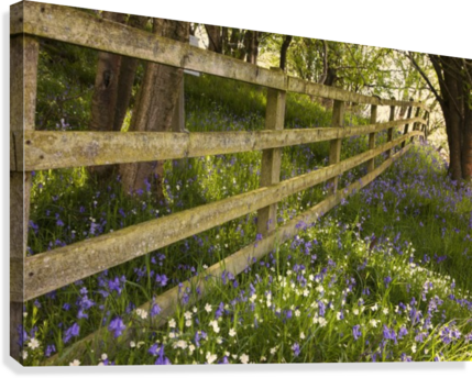 A Wooden Fence In A Forested Area With Blue And White Wildflowers On The Ground; Northumberland, England  Canvas Print