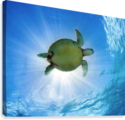 Hawaii, Green Sea Turtle (Chelonia Mydas) An Endangered Species.  Canvas Print