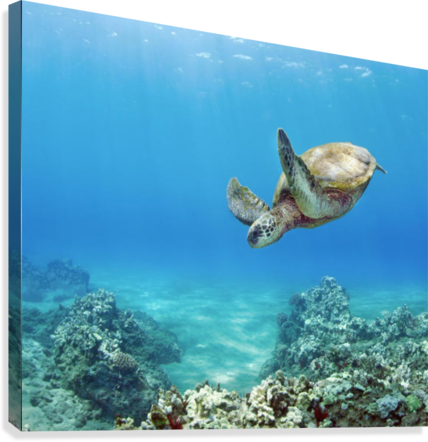 HAWAII, GREEN SEA TURTLE (CHELONIA MYDAS) AN ENDANGERED SPECIES. PACIFICSTOCK  Canvas Print