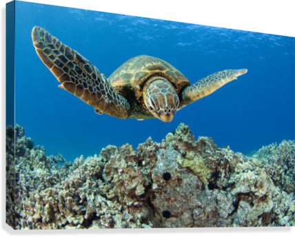 USA, Green Sea Turtle (Chelonia Mydas); Hawaii  Canvas Print