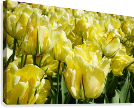 Tulips of the Netherlands 1 of 7  Canvas Print