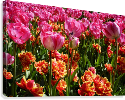 Tulips of the Netherlands 3 of 7  Canvas Print