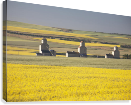 Three Old Wooden Grain Elevators At Sunrise With Flowering Canola Fields In The Foreground And Background; Mosleigh, Alberta, Canada  Canvas Print