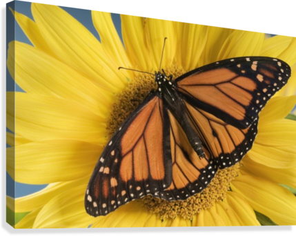 Monarch Butterfly On Sunflower.  Canvas Print