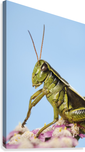Grasshopper Close-Up.  Canvas Print