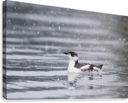 Marbled Murrelet With Winter Plumage Swimming During A Snowfall In Prince William Sound, Alaska, Southcentral, Winter, Iucn Endangered  Canvas Print