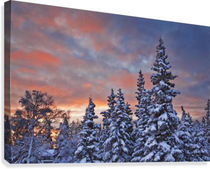 View Of Snow Covered Spruce Trees In A Rural Area Of Anchorage At Sunset, Southcentral Alaska, Winter  Canvas Print