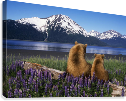 Grizzly sow cub sit on log view turnagain arm southcentral alaska digital composite canvas