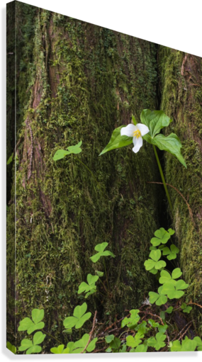 A Trillium grows from the trunk of a Western Red Cedar tree; Jewell, Oregon, United States of America  Canvas Print
