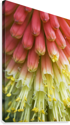 A red-hot poker plant blooms in a garden; Astoria, Oregon, United States of America  Canvas Print