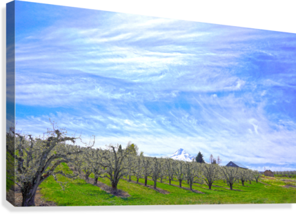 Spring in the Orchard Hood River Valley Oregon  Canvas Print