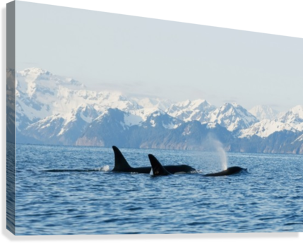 killer whale, or orcas, Orcinus orca, pod in traveling in Resurrection Bay, Kenai Fjords National Park, outside Seward, southcentral Alaska, spring  Canvas Print