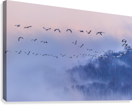 Snow Geese  Canvas Print