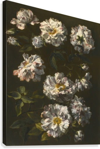 A study of striped white gallica roses  Canvas Print