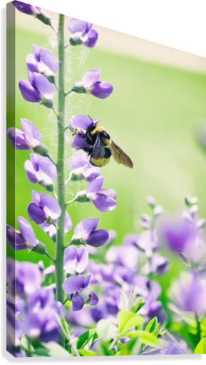 BEE IN FLIGHT 2 ALEXIS ARNOLD  Canvas Print