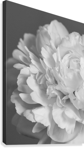 Peony in Black & White  Canvas Print