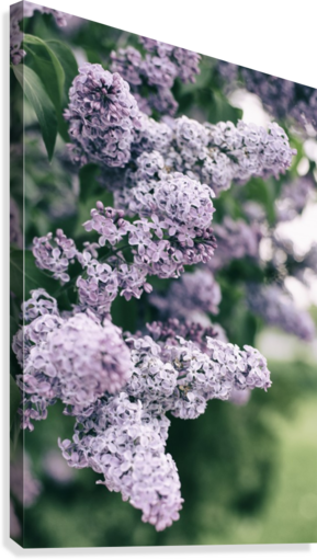 Lilacs in Spring  Canvas Print