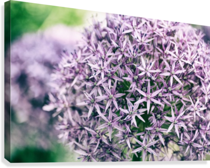 Allium in Bloom  Canvas Print