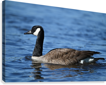 Canada Goose on water  Canvas Print