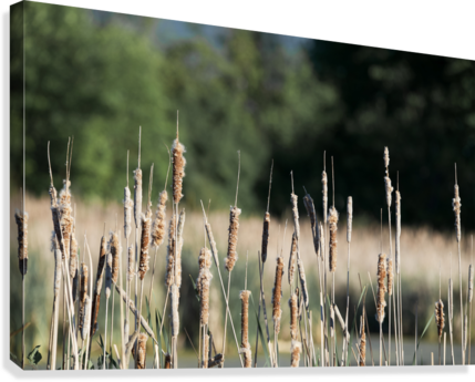 Cat Tails in Spring  Canvas Print