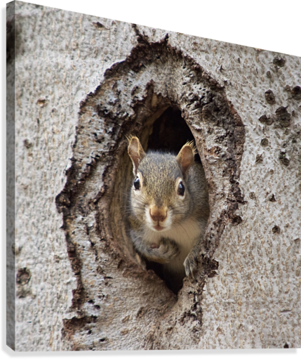 Squirrel in tree hole  Canvas Print